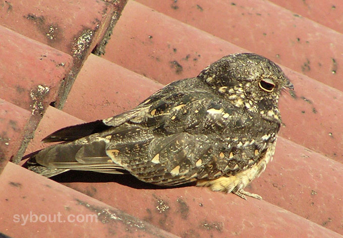 Savana Nightjar