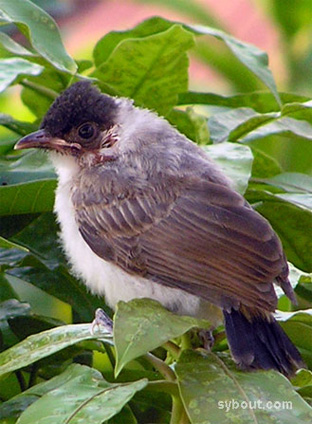 Young Sooty-headed Bulbul