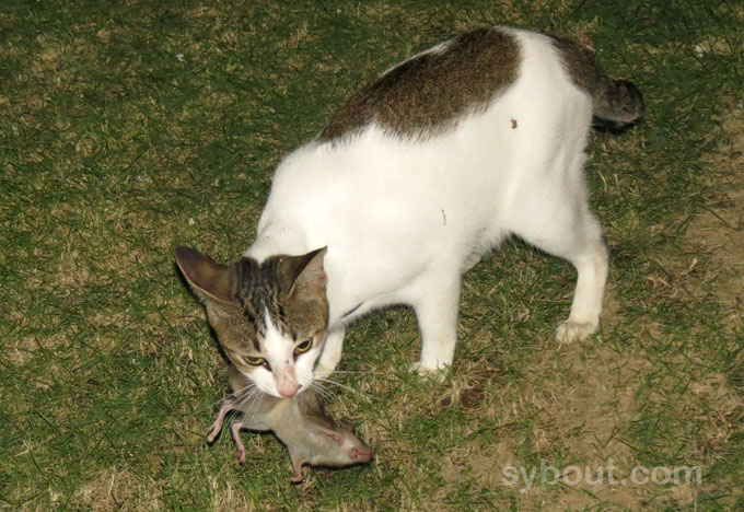 Cat with shrew