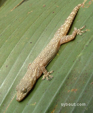 Spiny-tailed House Gecko