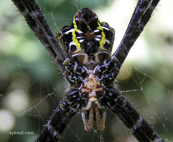 argiope_front