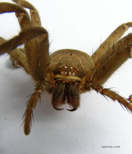 Domestic Huntsman Spider - exoskeleton
